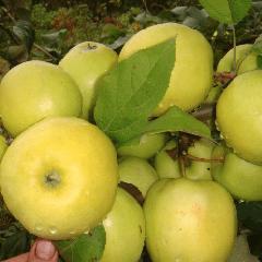 Яблони чудное: обо всех сторонах сорта selo.guru — интернет портал о сельском хозяйстве