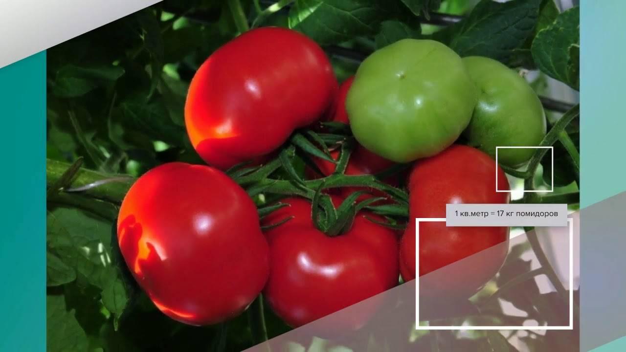 Гибрид томата «благовест f1»:  описание и характеристики сорта помидоров, рекомендации по выращиванию