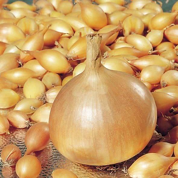 Лук шетана мс: характеристика и описание сорта, выращивание и уход
