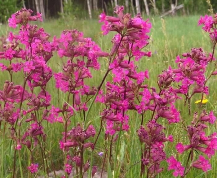 Посадка и уход за вискарией: выращивание из семян