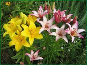 Посадка лилий весной в открытый грунт: как сажать луковицы с ростками, чтобы они цвели? на какую глубину правильно посадить проросшие луковицы?