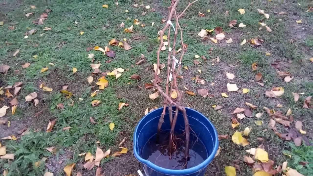 Посадка винограда осенью и весной. все особенности