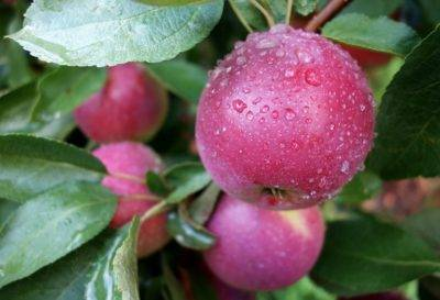 Описание сорта яблони розовый налив: фото яблок, важные характеристики, урожайность с дерева