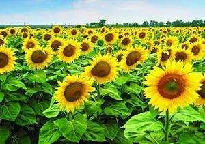 Необычные подсолнухи, или как вырастить гигантский подсолнечник? сорта, выращивание и уход. фото — ботаничка.ru