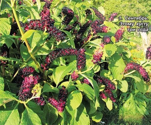 Лаконос что это за растение: описание, посадка и уход в саду, фото и виды цветка, лекарственные свойства, способы размножения, полезные рецепты