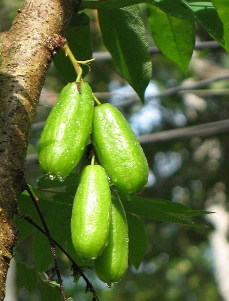 Огуречное дерево билимби описание фото - домашний уют от agrostroy2.ru