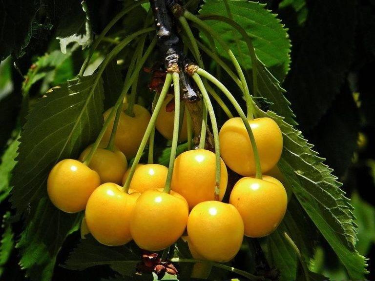 Как выбрать лучший самоплодный сорт черешни и вишни для подмосковья: описание и фото