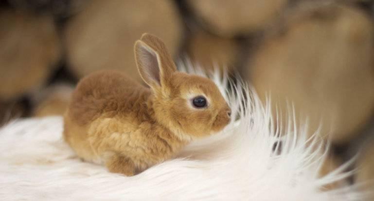 Срок жизни карликовых кроликов