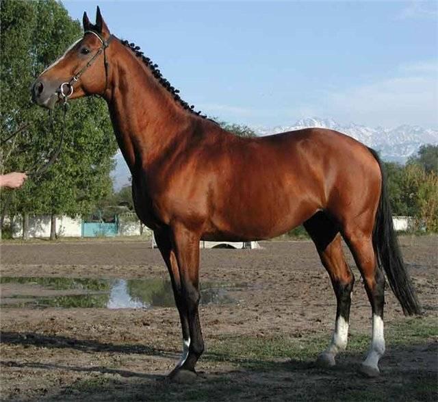 Английская чистокровная лошадь