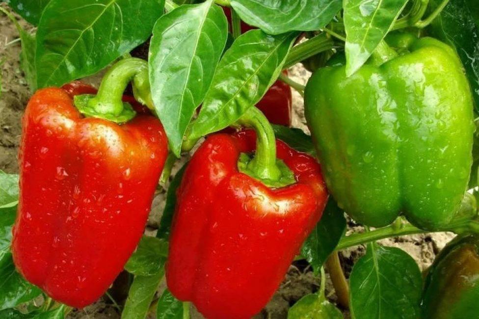 Перец богатырь: отзывы, фото, описание сорта сладкого болгарского перца, урожайность, посадка и уход, выращивание в открытом грунте, теплице