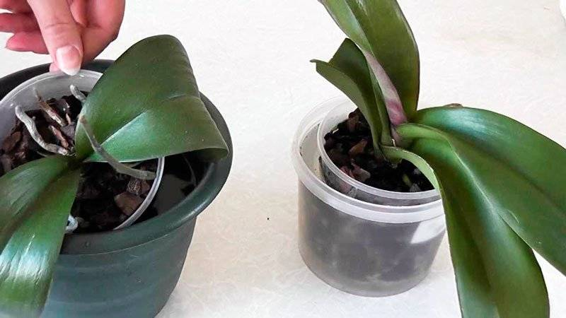 Как часто поливать орхидею: зимой и летом дома