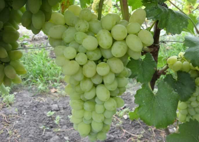 Виноград белое чудо: описание сорта и его фото, особенности выращивания и характеристики selo.guru — интернет портал о сельском хозяйстве