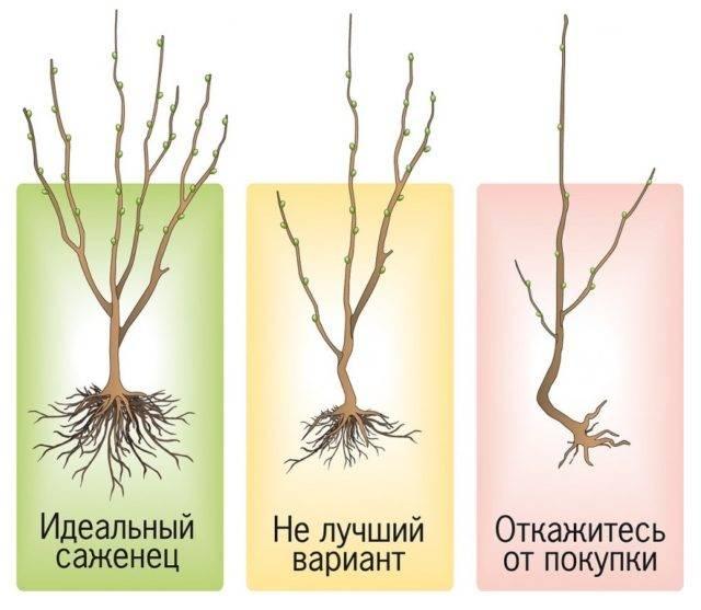 Груша феерия: описание сорта, профилактическая обработка от вредителей весной, осенью, фото, видео, отзывы садоводов