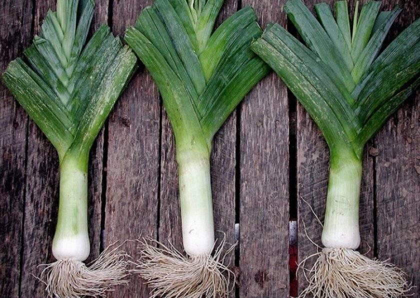 Лук порей: посадка, выращивание и уход в открытом грунте