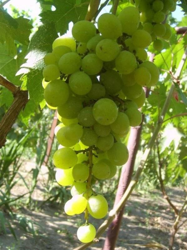Виноград дружба: описание сорта, основные характеристики и особенности выращивания