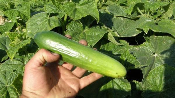 Поздние сорта огурцов для выращивания в открытом грунте