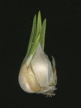 Выращивание чеснока из бульбочек – инструкция как вырастить из семян + видео