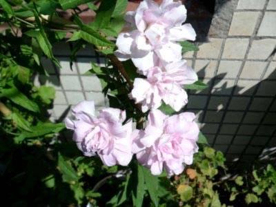 Калистегия: фото цветка и советы по уходу дома