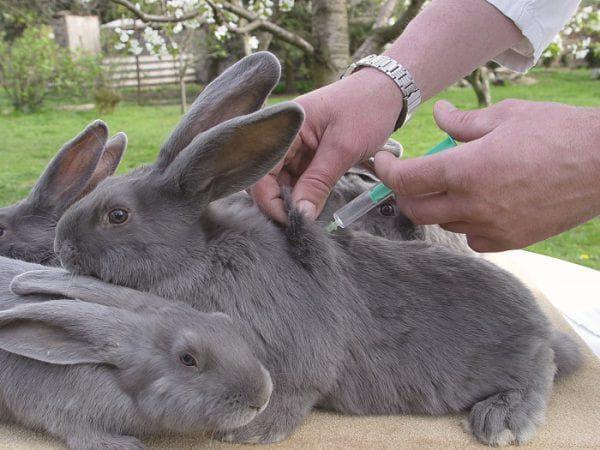 Прививки кроликам: какие и когда делать, какие вакцины необходимы