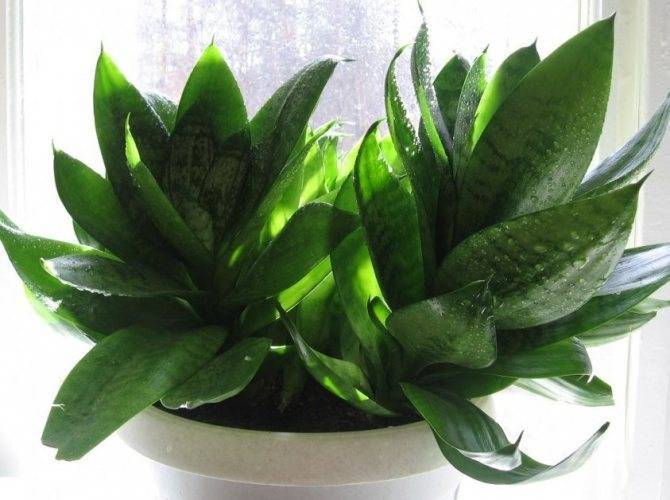 Сансевиерия домашняя - уход, фото, размножение цветка, пересадка, описание