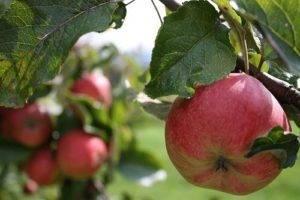 Сколько лет живет яблоня: продолжительность