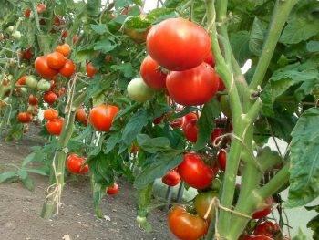 Спасатели томатов в пакетах, 3 мл + 12 мл   средства защиты универсальные