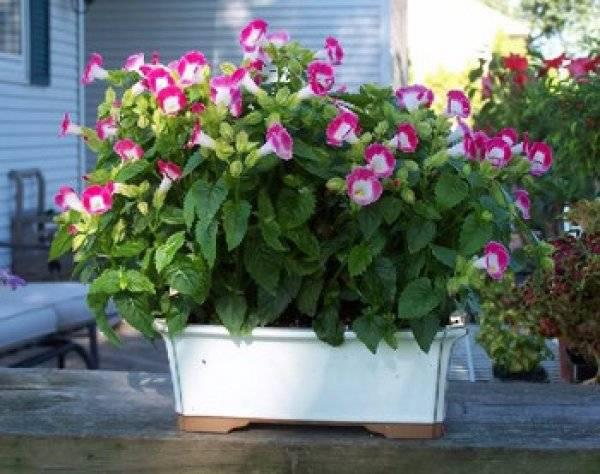Цветок торения: секреты выращивания цветущей красавицы