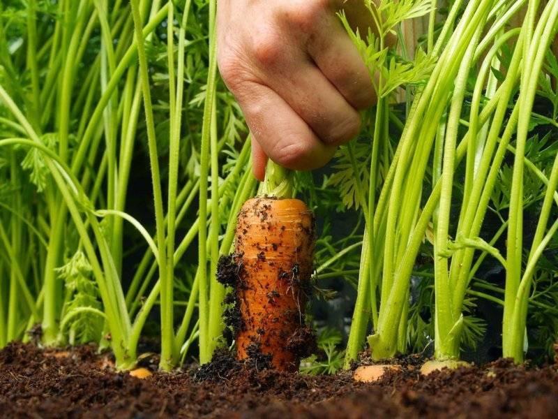 13 лучших способов посадки моркови. как правильно сеять культуру?