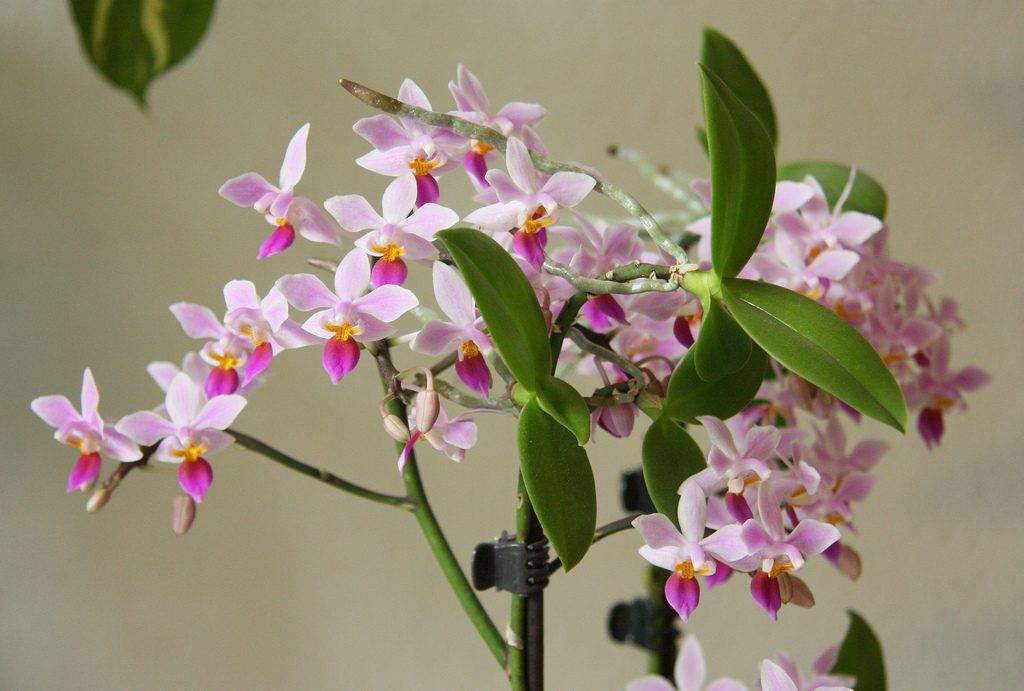 Орхидея фаленопсис: описание видов и уход за цветком