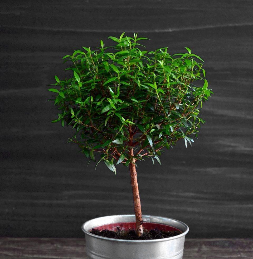 Мирт обыкновенный комнатный: выращивание и уход в домашних условиях + фото
