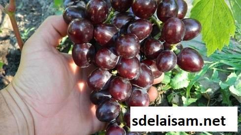 Опрыскивание винограда железным купоросом: пропорции раствора, как приготовить, меры безопасности