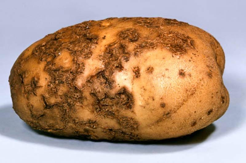 Причины и симптомы рака картофеля и источники заражения, методы борьбы