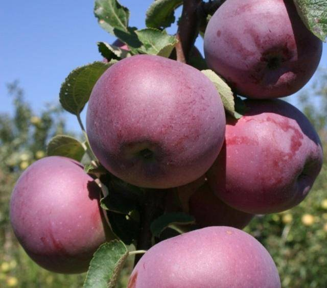 Яблоня спартан: описание и урожайность сорта, фото плодов и отзывы садоводов