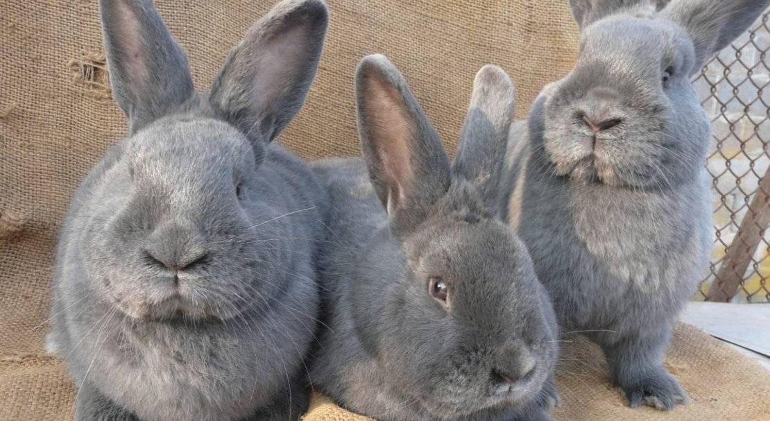 Венский голубой кролик: фото, описание, характеристика :: syl.ru