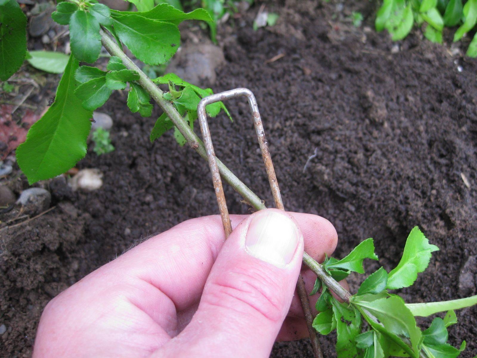 Посадка рододендрона, уход, особенности размножения и пересадки