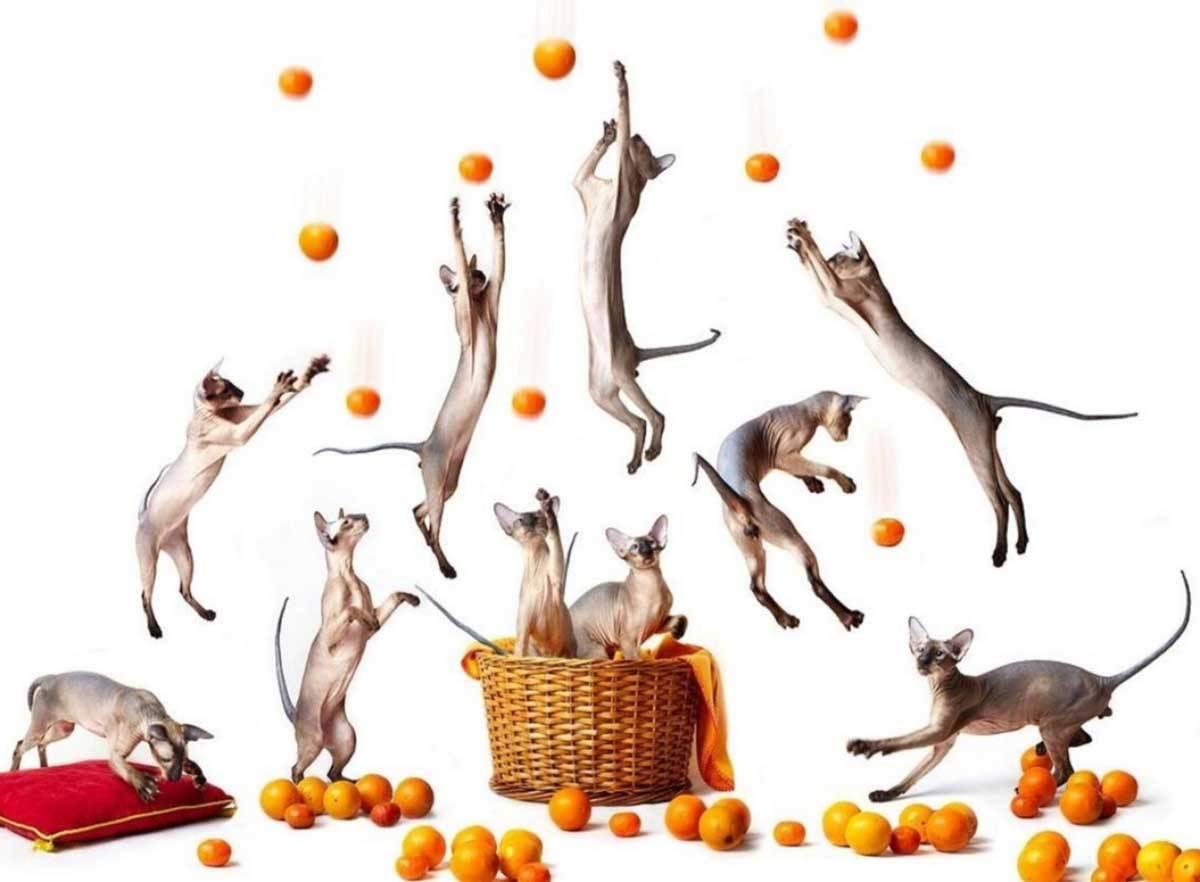 Запах цитрусовых для кошек