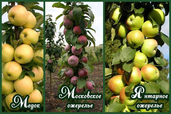 10 сортов колоновидных яблонь, которые я рекомендую для средней полосы. названия, описание, уход, фото. — ботаничка.ru