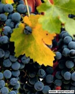Виноград - описание 27 сортов с фото и характеристиками