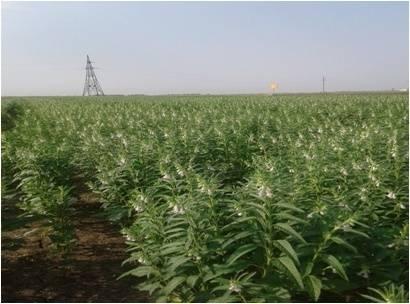 Как растёт кунжут: посадка, выращивание, уход, полезные свойства