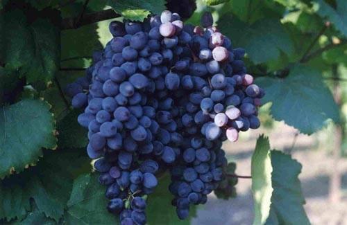 ᐉ кишмиш цгл - сорт винограда - roza-zanoza.ru