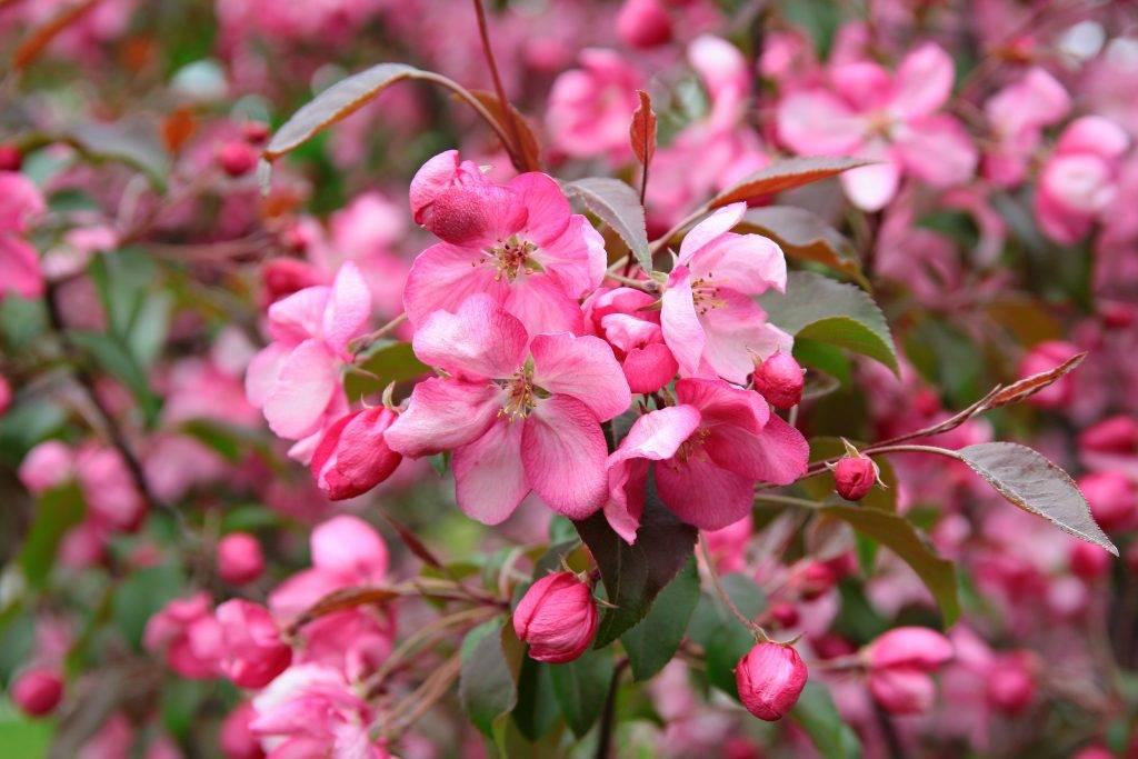 Яблоня недзвецкого: описание и характеристики, выращивание, высота и диаметр кроны