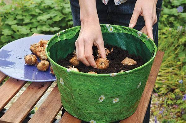 Как вырастить гладиолусы в горшках - agroflora.ru