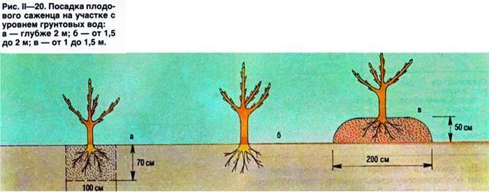 Посадка яблони весной, в том числе схема размещения на участке