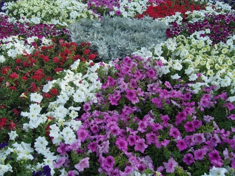 Петуния ампельная: лучшие сорта и особенности выращивания