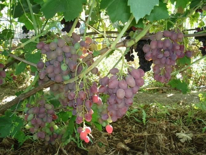 Виноград «восторг» — стоит восторгаться!