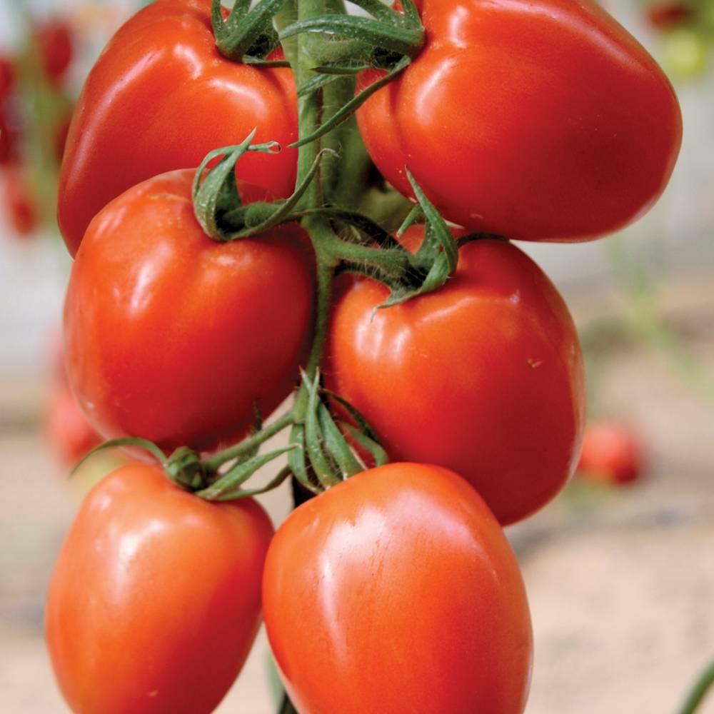 """ᐉ помидоры """"паленка"""": фото и описание гибридного сорта томата - orensad198.ru"""