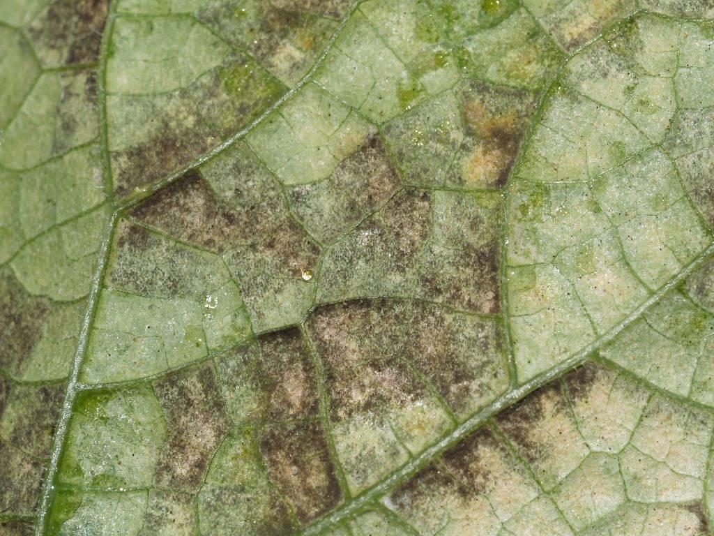 Пероноспороз огурцов: лечение народными средствами и препаратами