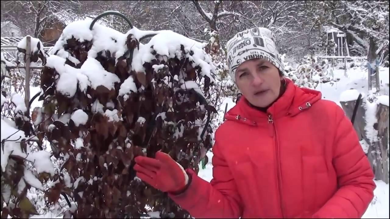 Как укрыть клематис на зиму