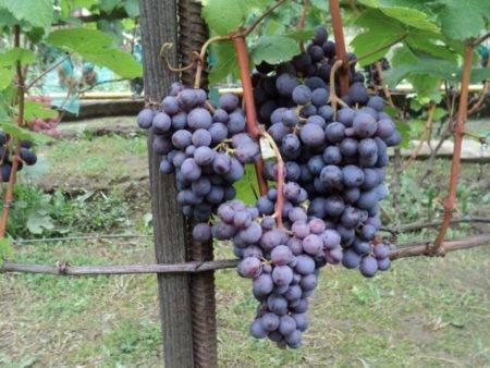 Виноград кардинал: топ советы по выращиванию + описание сорта