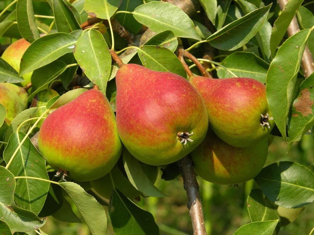 Посадка груши осенью саженцами: сроки, правила, советы профессионалов